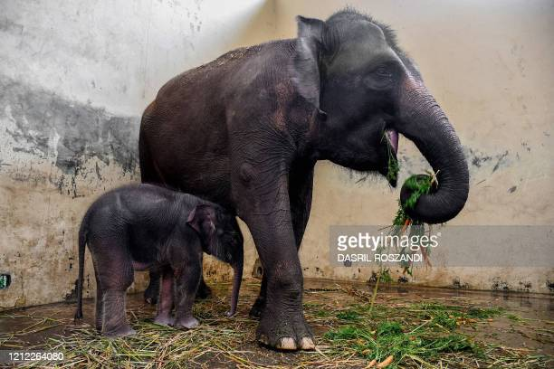 Covid an 11dayold baby elephant stays with its mother Nina at Safari Park in Cisarua West Java on May 9 2020 Taman Safari staff named the newly born...