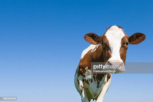 Cow against Blue Sky Looking at camera