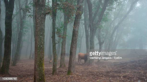 cow amidst trees on field during foggy weather - herbivorous stock pictures, royalty-free photos & images