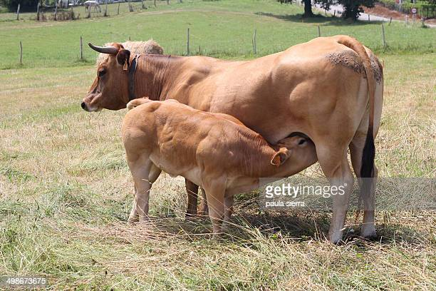 A cow and a calf