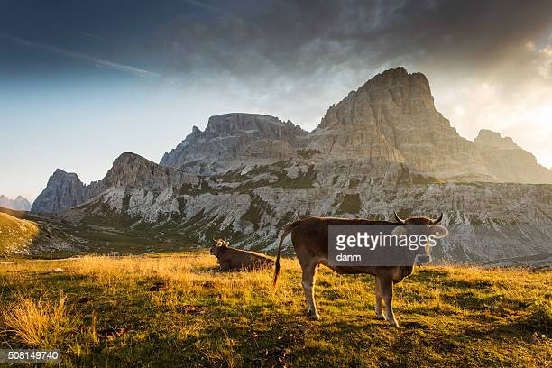 Cow and Beautiful landscape near to National Park Tre Cime di Lavaredo. Dolomites, South Tyrol. Location Auronzo, Italy, Europe. Dramatic scene. Beauty world.