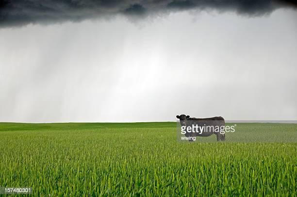 Vaca. e Nuvem negra sobre um campo de Trigo