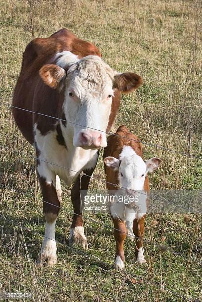 Cow and Calf Looking at Camera, Close Up, Hereford