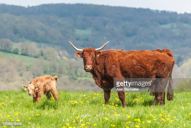 cow and calf - alain bachellier photos et images de collection