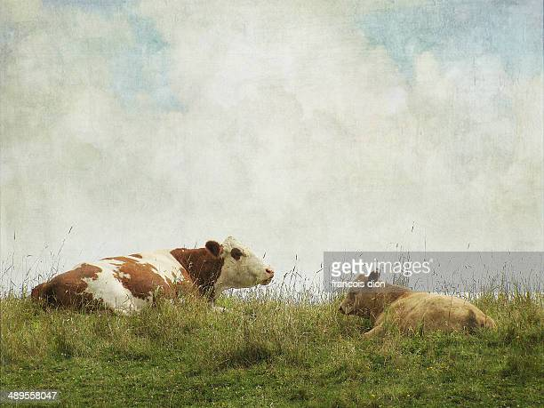 Cow and calf sleeping in grass on top of hill