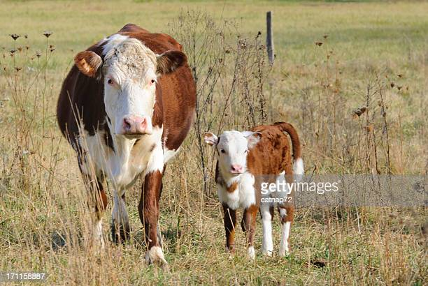 Cow and Calf Standing in Pasture Looking at Camera