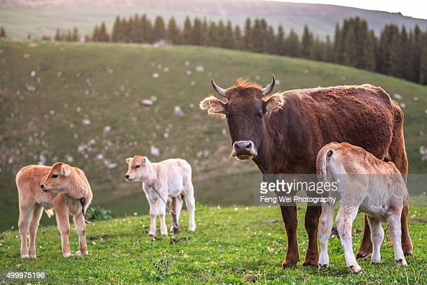 Cow and calves, Qiongkushitai Village, Xinjiang China
