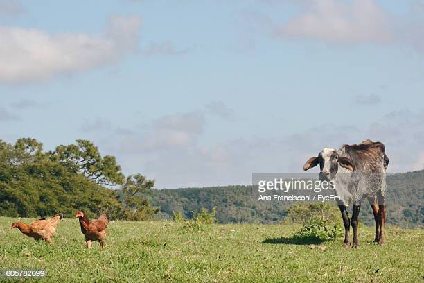 Cow And Chickens On Field