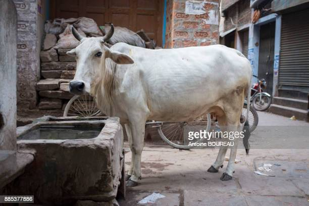 Cow and drinking trough in a pedestrian street in Varanasi, India