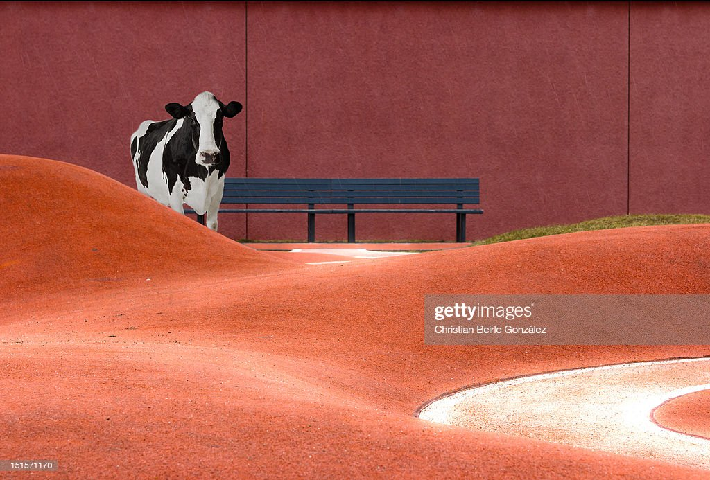 Cow and empty bench : Stock-Foto