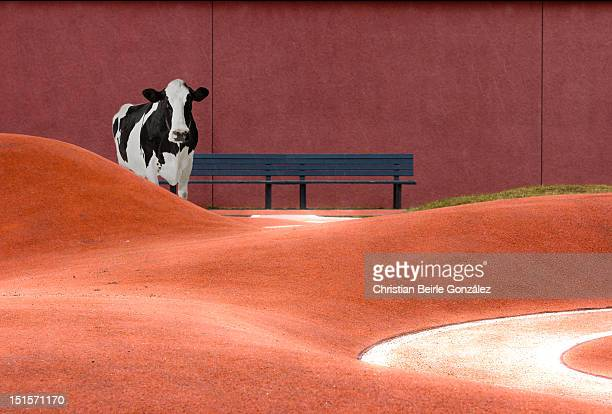 cow and empty bench - christian beirle stockfoto's en -beelden