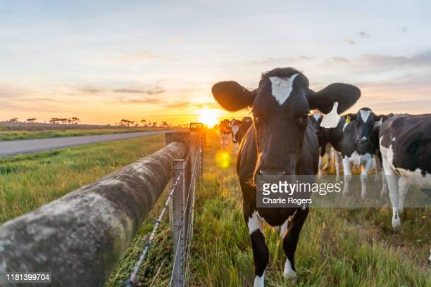 cow and farmland at sunrise - grazing stock pictures, royalty-free photos & images
