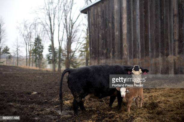 A cow and her calf on Arthur Randall's land near the Westbrook Portland line Randall has been grazing his cattle for 35 years during the summers on...