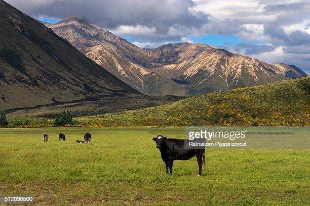 Cow and mountains