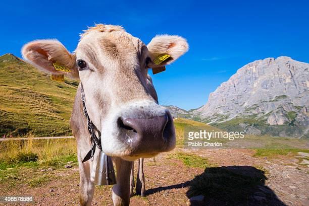 Cow and Pale di San Martino