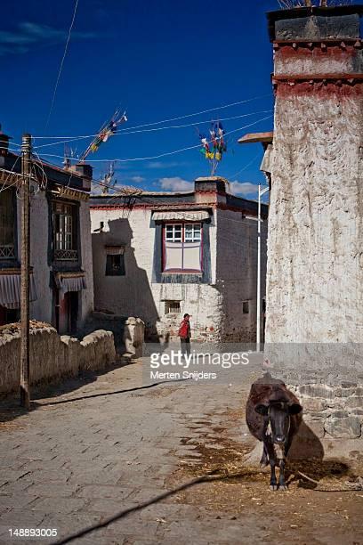 cow and person in street in old town. - merten snijders stockfoto's en -beelden