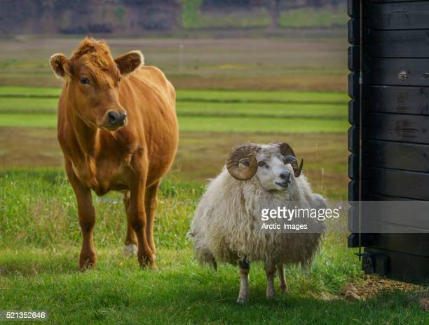 Cow and Sheep on a farm, Iceland