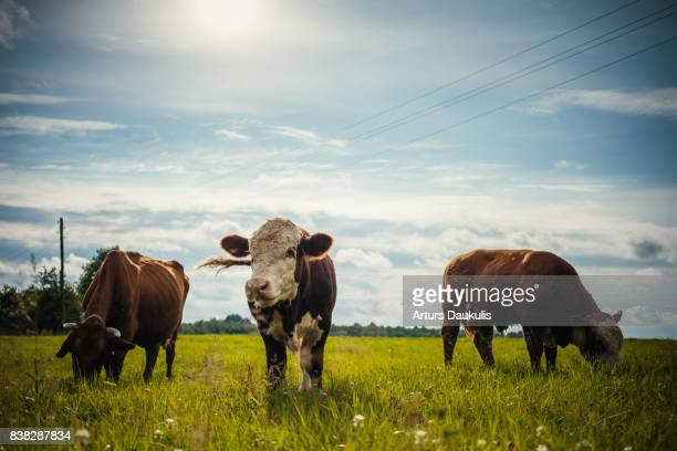 A cow and two bulls eating grass in a meadow