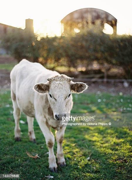 cow at dusk - 休耕田 ストックフォトと画像