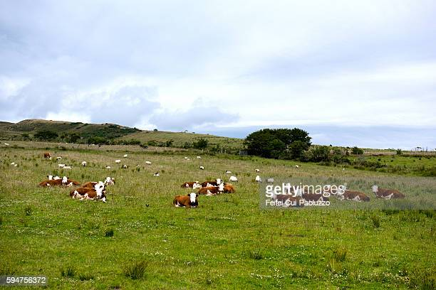 Cow at Lagg of the Isle of Arran in Scotland