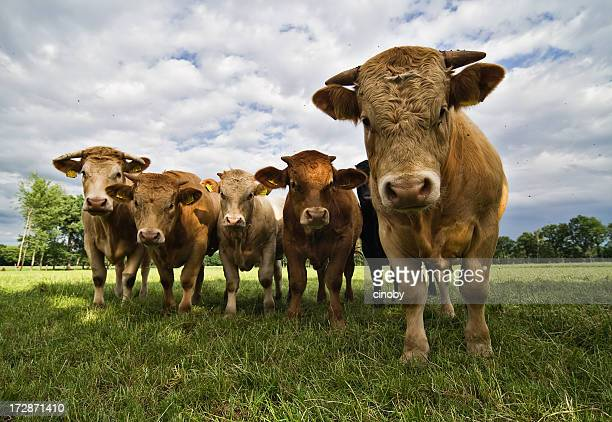cow attack - bull animal stock photos and pictures