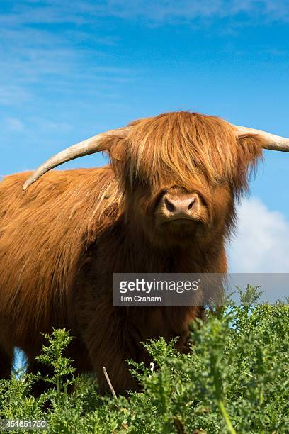 Cow Bos primigenius of Highland Cattle pure pedigree in the Highlands of Scotland