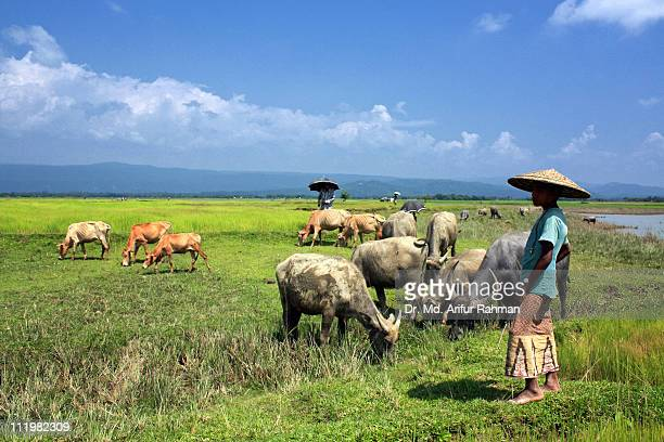 Cow boys with their cows & buffaloes