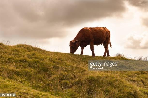 Koe browsen op een heuvel