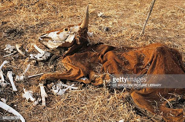 Cow carcass drought effects Sahel Africa