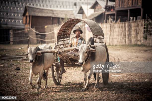 cow carriage taxi at mingun pagoda in mandalay, myanmar - animal powered vehicle stock photos and pictures