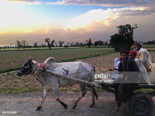 Cow cart still used as means of transport in rural Pakistan.