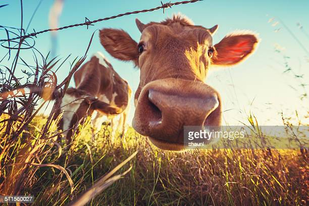 cow close up - cute stock pictures, royalty-free photos & images