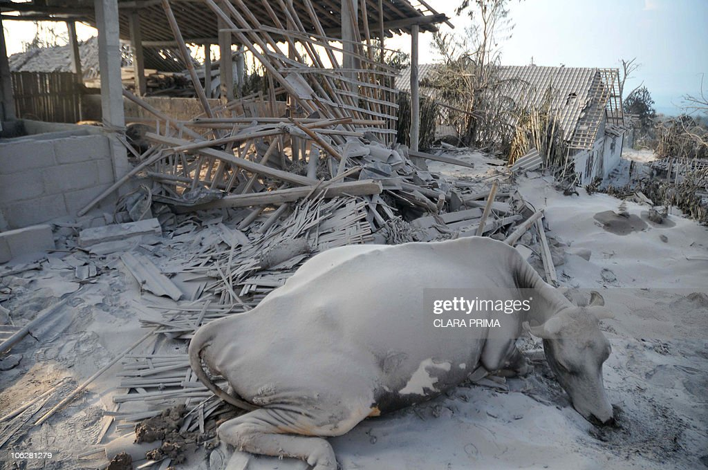 A Cow Covered In Volcanic Ash Is Pictured Outside Barn After Mount Merapi Volcano Erupted
