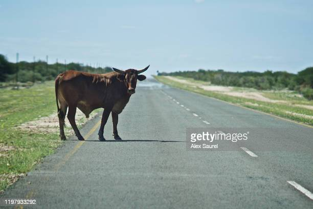 cow crossing the road, kaokoland, namibia - reportage stock pictures, royalty-free photos & images