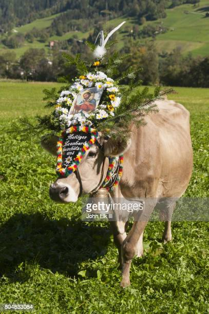 Cow decorated for Almabtrieb transhumance festival