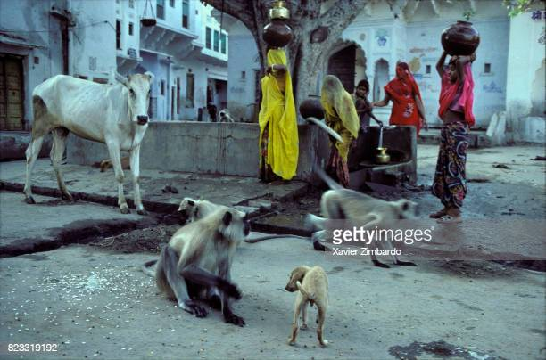 Cow dog and monkeys playing together in a street while veiled women villagers carrying pots and fetching water from the village pump at a small...