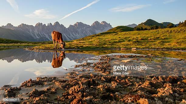 Cow drinking at lake