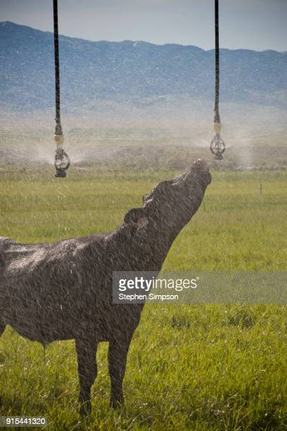 Cow drinks from pivot irrigation system in wheat field in Montana, USA