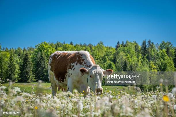 cow eating gras in a field. trees and blue sky in the background - finn bjurvoll stock pictures, royalty-free photos & images