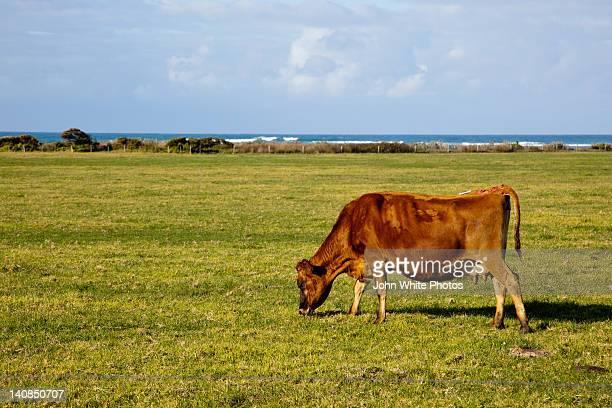 Cow eating green grass. South Australia.