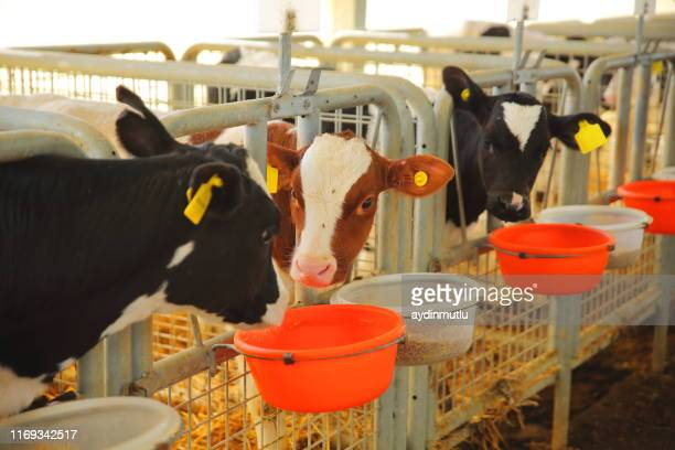 cow eating in a milk production farm - calf stock pictures, royalty-free photos & images