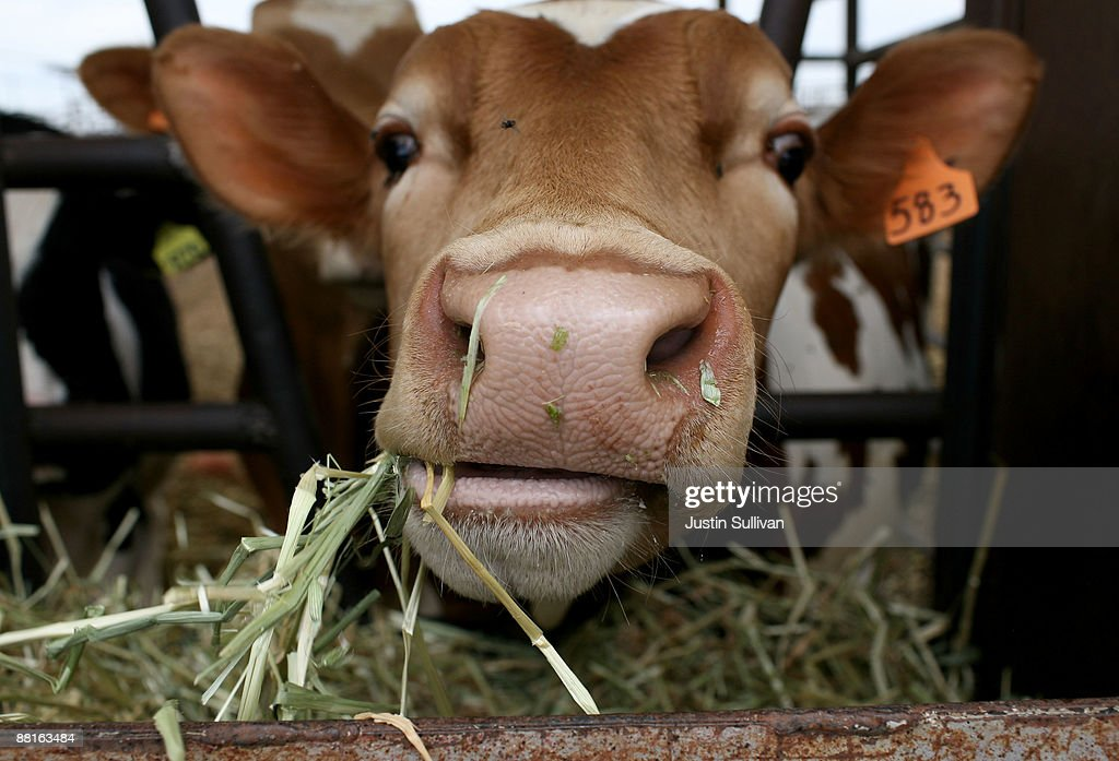 Plummeting Price Of Milk Leaves Dairy Farms Struggling For Profit : News Photo