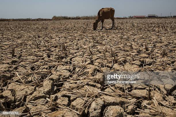 A cow eats unhulled rice from dried up ricefield at Mangara Bombang village Maros district on September 21 2015 in Makassar Indonesia Indonesia's...