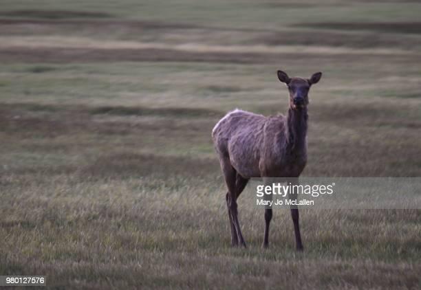 cow elk - jo wilder stock-fotos und bilder