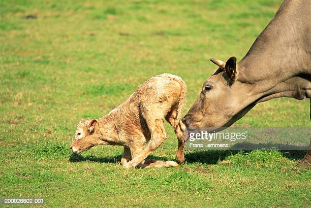 Cow encouraging newborn calf to stand