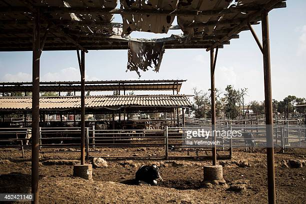 Cow farm by Israeli Gaza border maintains it's work as the ground offensive continues on July 20 2014 at the IsraeliGaza border Protests have taken...