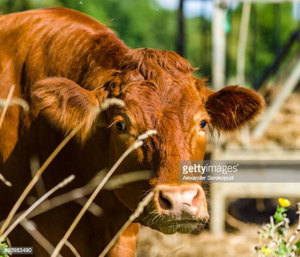 cow farm. close up of cows head grazing at field, france - milk pack stock photos and pictures