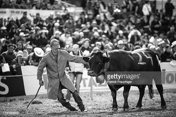 CONTENT] Cow fighting is a traditional Swiss event in which a cow fights another cow