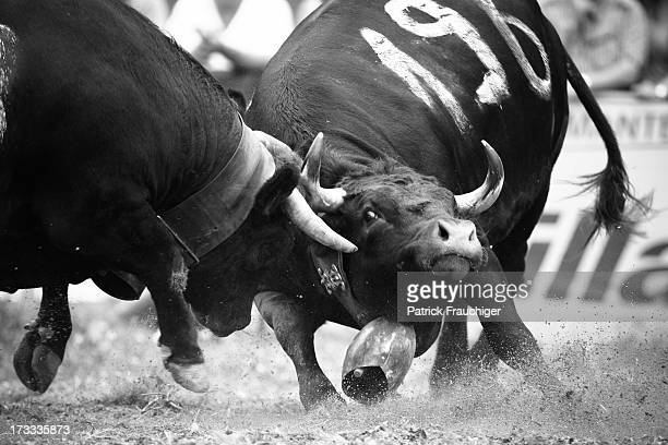 Cow fighting is a traditional Swiss event in which a cow fights another cow.