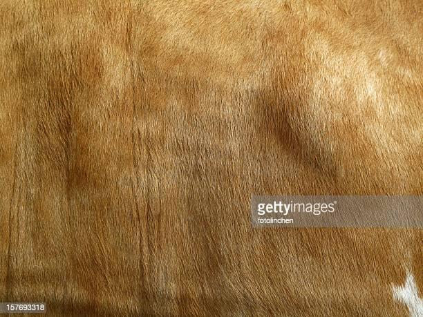 fourrure vache - fourrure photos et images de collection